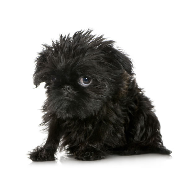 Brussels-griffon-1-picture
